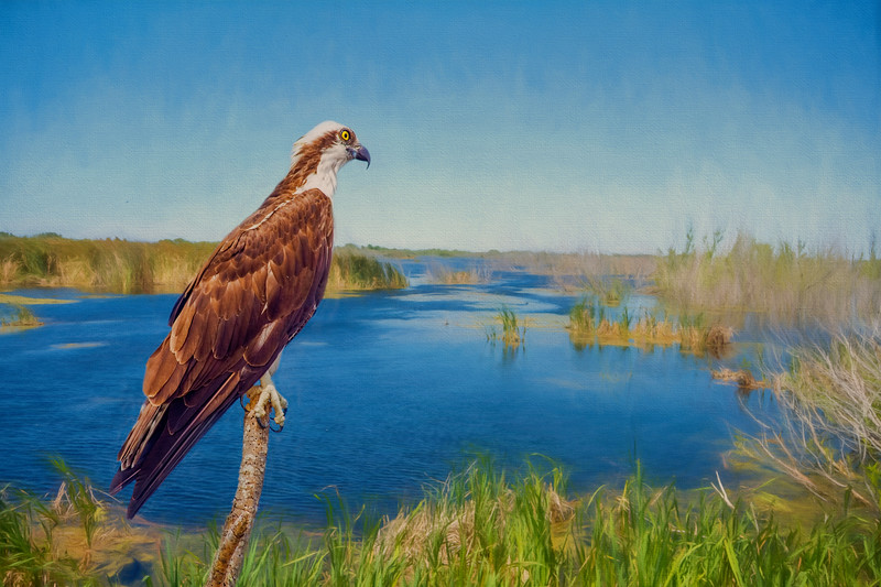 the fishing eagle