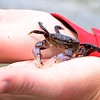 Crab In Hand - Cortes Island