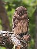 Fish Owl