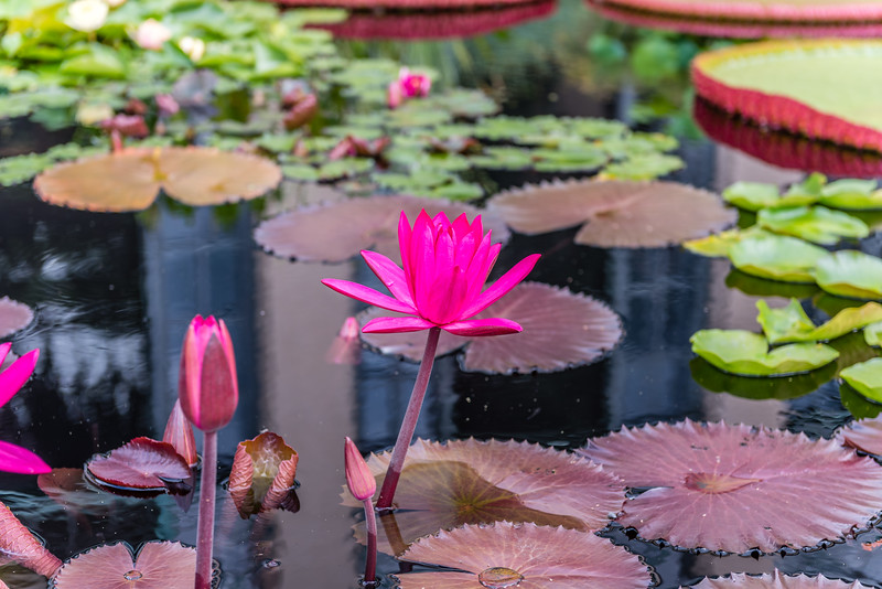 """""""Red Flare"""" Waterlily"""