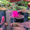 """Red Flare"" Waterlily"