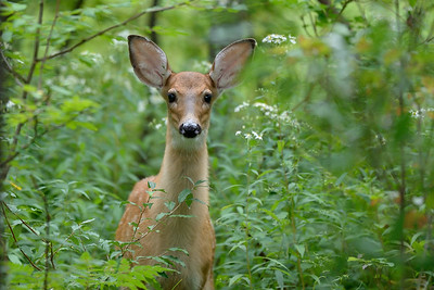 Who Goes There?  Curious Whitetail Fawn