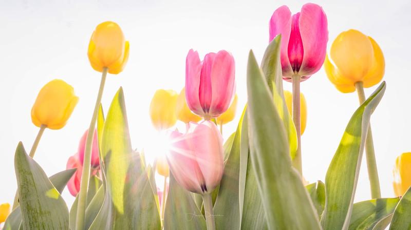 Hafer Park Spring Tulips