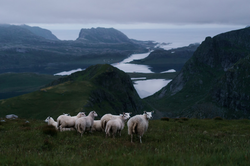 Kvalvika Sheep