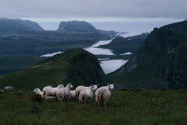 Kvalvika Sheep