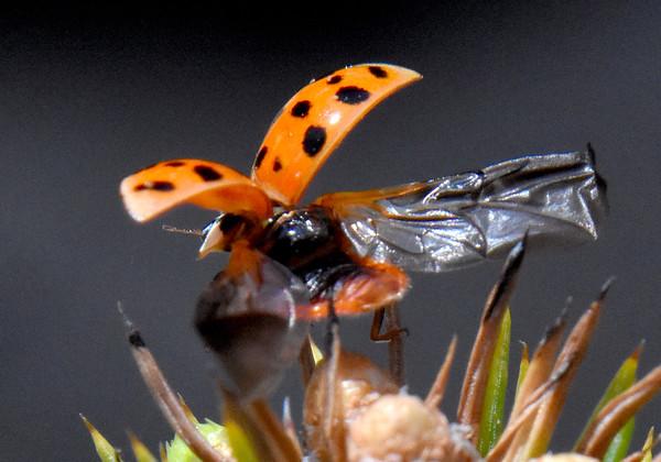 Ladybug (Harmonia) Taking Flight