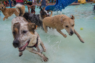 A group of dogs play chase at the annual Pooch Plunge at City Park Pool on Sunday, August 26, 2018.