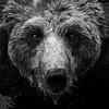 Bear Stare