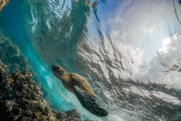 Tidepool Turtle