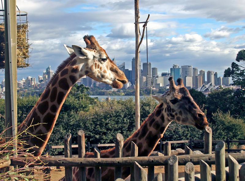sydney zoo giraffe