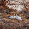 Canadian Snow Geese Relaxing