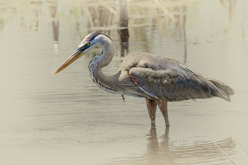 Great Blue Heron, central Florida taken by Jerry Dalrymple