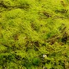 Sea Weed Detail - Cortes Island