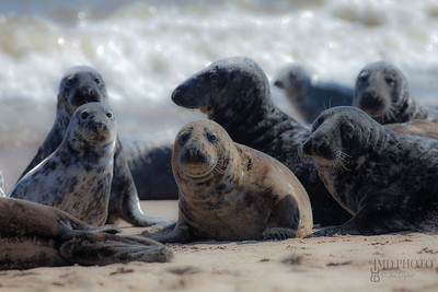 Wild Grey seal colony on the beach at Horsey UK