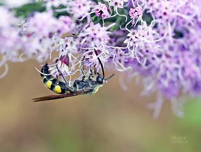 Macro Wasp on a Dense Morning Star