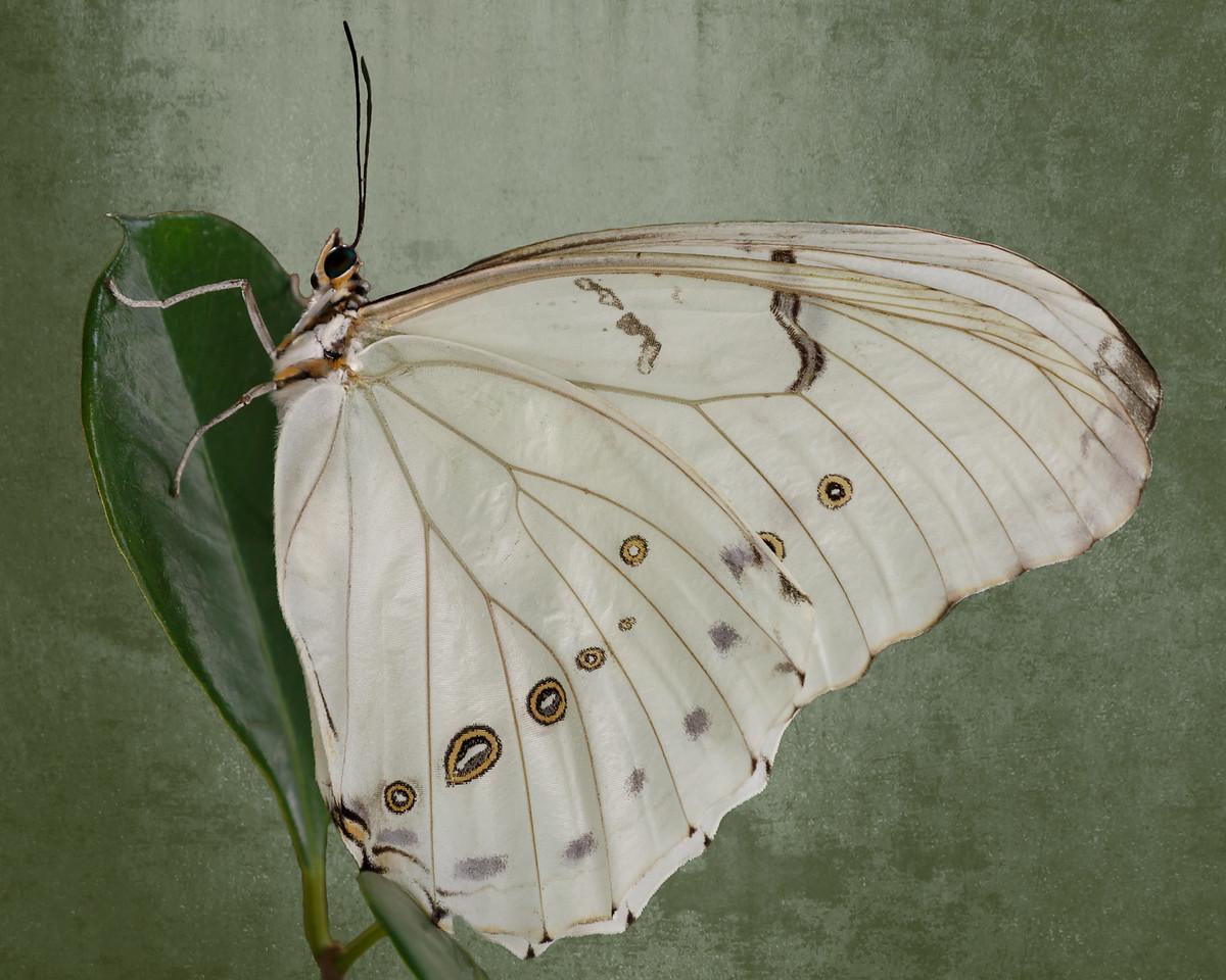 White Morpho-