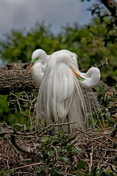 Nature Photographer Jerry Dalrymple shares images of a rookery in Florida. These are great  egrets.