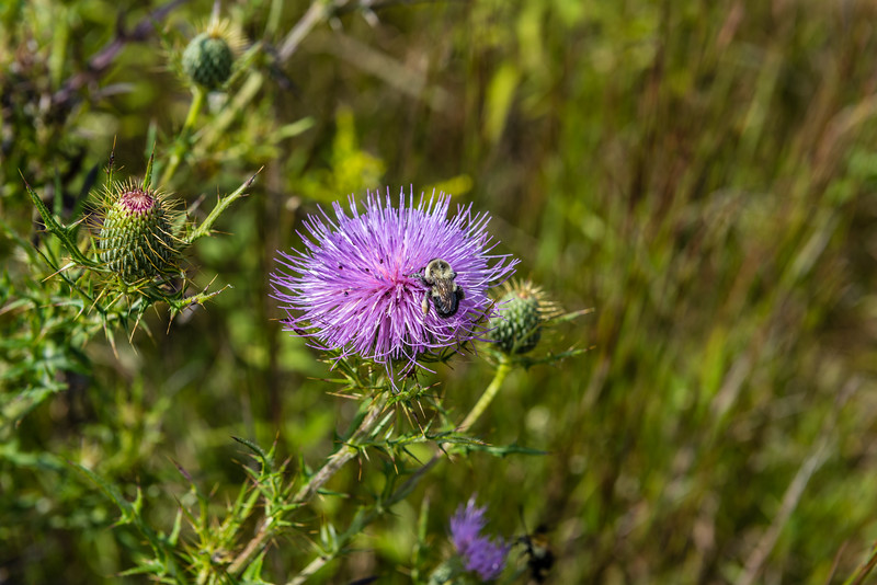 Thistle & Bumble Bee