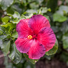 """Candy Striper"" Hibiscus"