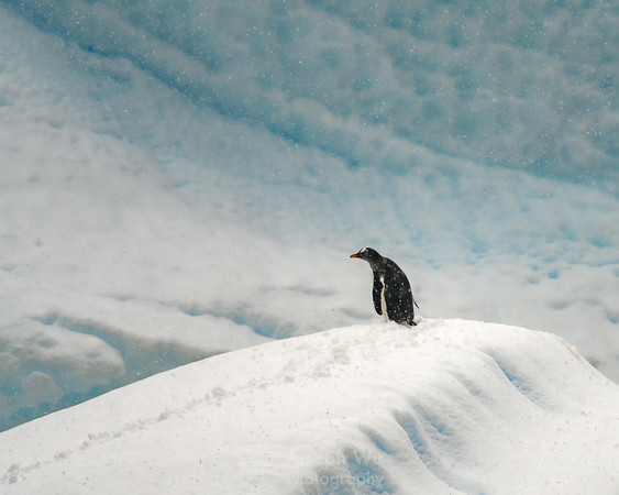 The Lonely Gentoo