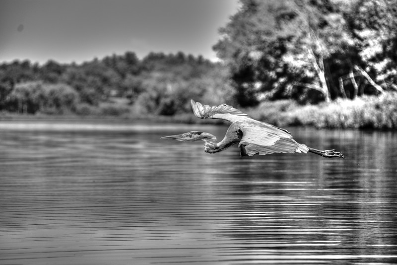 Grey Heron in Flight in B&W