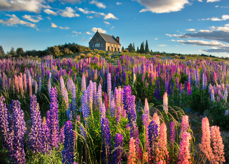 The Lupins In Spring