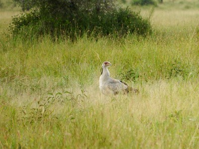 Serengeti: Secretary Bird
