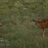 Badger and Deer Fawn Encounter