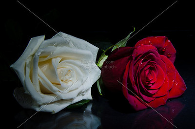Two Roses at Night