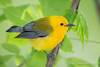 Prothonotary Warbler_1248