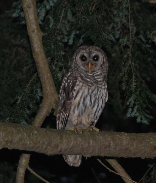Bard Owl #2