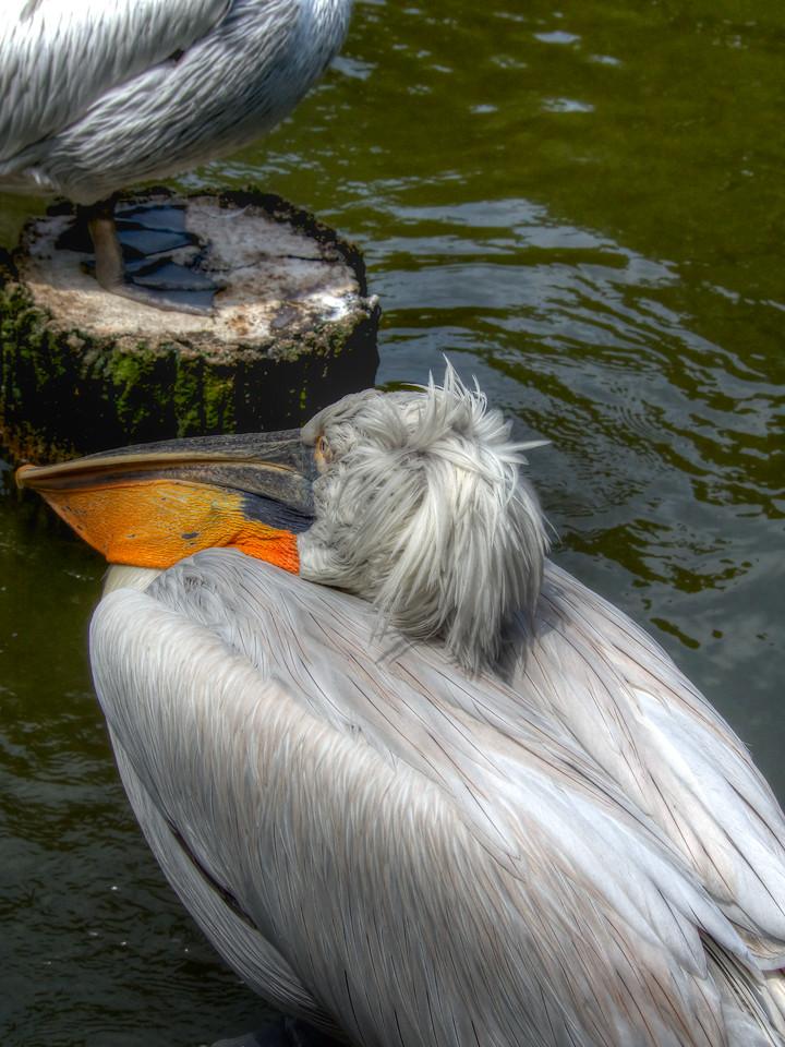 Jurong Pelican