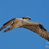 Gliding Osprey