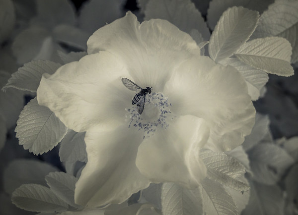 Infrared insect