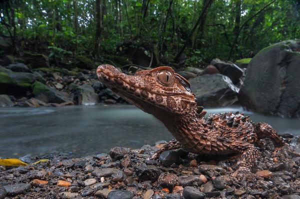 A juvenile smooth fronted caiman (Paleosuchus trigonatus) near a small jungle stream in Amazonian Peru.
