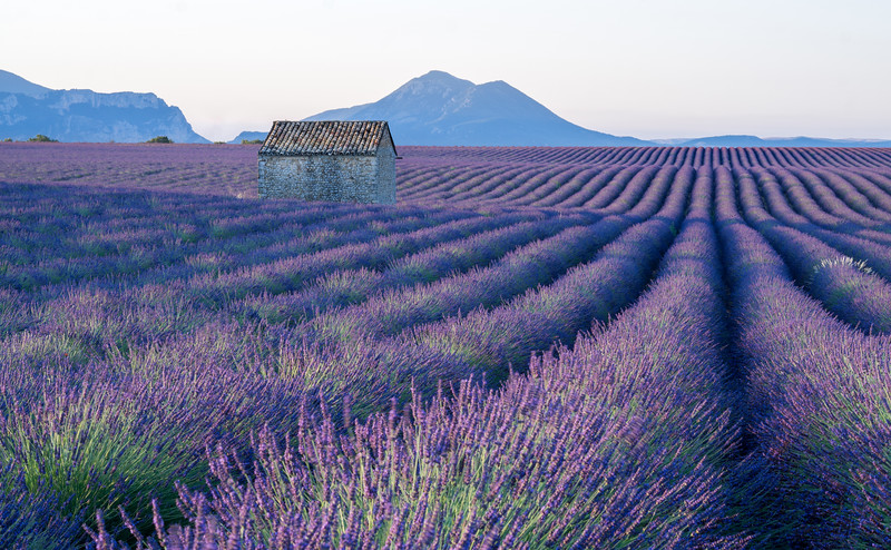 Lavanda fields in Valensole, Provence (France), 2019