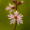 Woodland Star - (Lithophragma parviflorum)