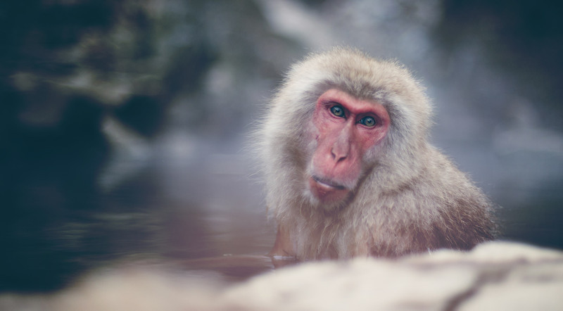 Monkey Monkey This might be the dumbest name for any photo ever, but all bets are off with these snow monkeys.  Did you know that Nolan Ryan from the Texas Rangers has a bunch of snow monkeys in South Texas? Oh yes, listen here. Really - listen! :)  - Trey Ratcliff  Read more here at the Stuck in Customs blog.