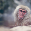 "<h2>Monkey Monkey</h2> This might be the dumbest name for any photo ever, but all bets are off with these snow monkeys.  Did you know that Nolan Ryan from the Texas Rangers has a bunch of snow monkeys in South Texas? Oh yes, <a href=""http://www.theunticket.com/nolan-ryan-talks-about-snow-monkeys/"" rel=""nofollow"">listen here</a>. Really - listen! :)  - Trey Ratcliff  Read more <a href=""http://www.stuckincustoms.com/2011/12/21/monkey-monkey/"">here</a> at the Stuck in Customs blog."