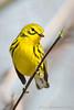 Prairie Warbler-6247