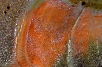 Steelhead (Rainbow) Trout