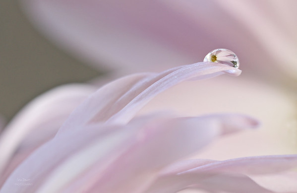 Macro water droplet on a pink daisy
