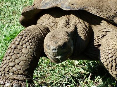 Galápagos Giant Tortoise II