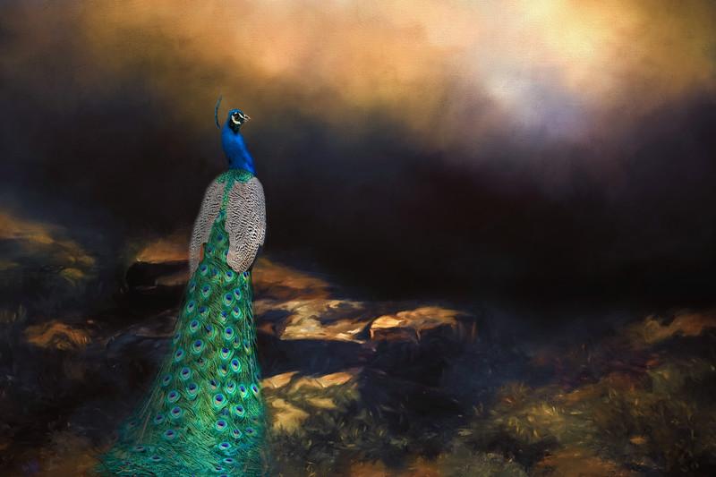 Peacock Dawn