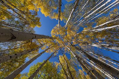 Golden Aspen Reaching for the Sky
