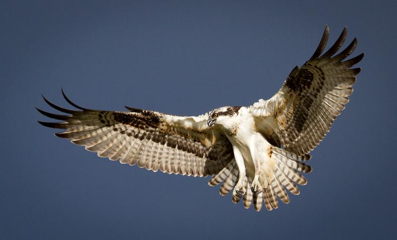Osprey Grandeur