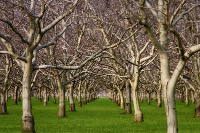Walnut trees embracing