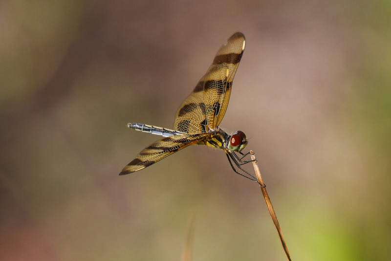 Dragonfly - Sanibel Island