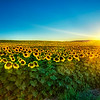 "<h2>Sunflowers at Sunset</h2> <br/>This photo was much harder to take than it might seem!<br/>First of all, these sunflowers are tall - and I mean tall!  They must be between 6 and 7 feet in the air.  I was on the ground with them, so, of course, I was looking UP at them.  No one wants to see a shot like that...!<br/><br/>So, I put the camera on the tripod, set the timer to 5 seconds, extended the legs, set the manual settings correct, then jacked the whole thing in the air, holding it rock steady while it took the exposure.  Getting a steady horizon while holding the camera 12 feet in the air is not easy... and after a number of takes, my shoulders were just about spent for the rest of the night.<br/><br/>- Trey Ratcliff<br/><br/><a href=""http://www.stuckincustoms.com/2009/04/10/sunflowers-at-sunset-oh-and-im-making-a-short-film/"" rel=""nofollow"">Click here to read the rest of this post at the Stuck in Customs blog.</a>"