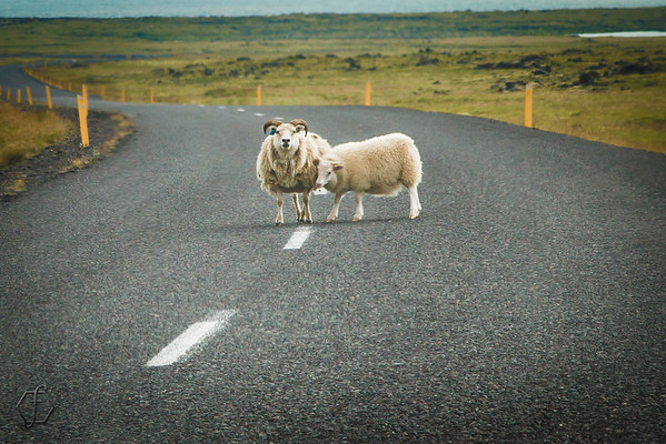 Sheep Stand Ground on Roadway